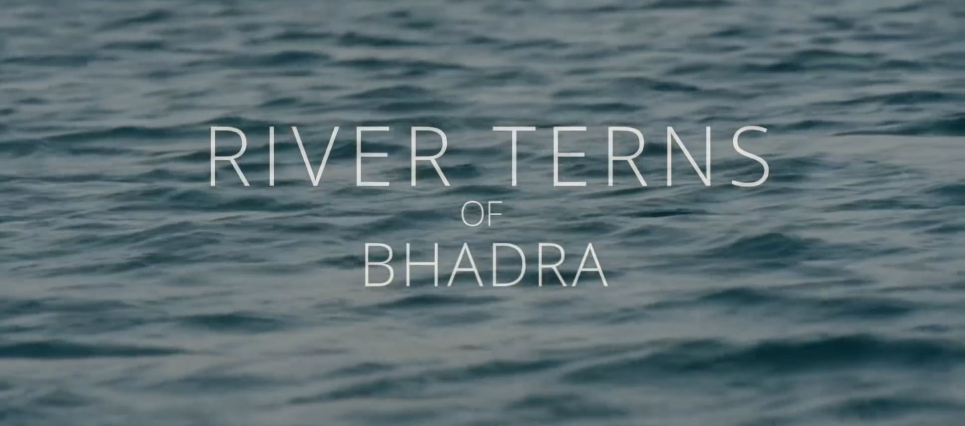 River Terns of Bhadra